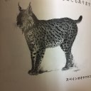 西班牙大山猫さん