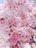 桜もち。さん
